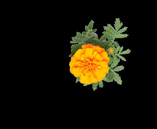 Œillet d'Inde orange